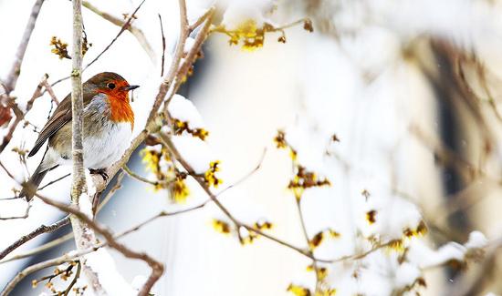 Chim robin co ro đậu trên cành cây dưới mưa tuyết ở Langley, Cheshire, Anh.