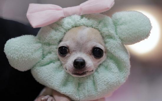Chó biểu diễn thời trang tại một sự kiện ở Tokyo.
