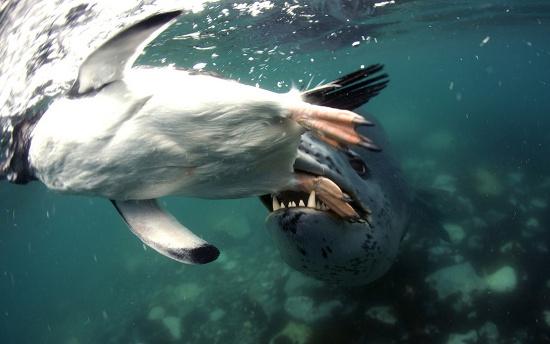 Hải cẩu báo đuổi bắt một con chim cánh cụt dưới biển Nam Cực.