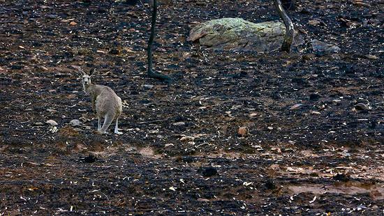 Một con kangaroo trên khu vực vừa xảy ra cháy rừng ở Coonabarabran thuộc bang New South Wale, Australia.