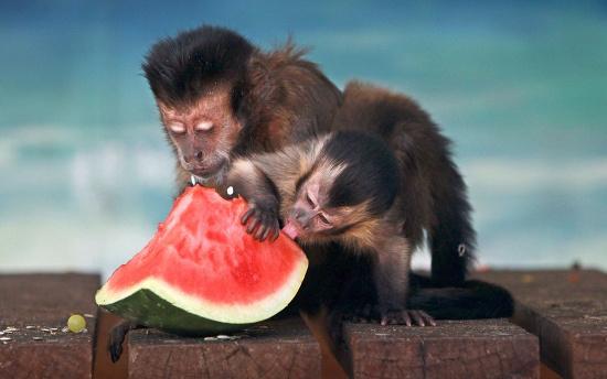 Hai mẹ con khỉ thưởng thức món dưa hấu mát lạnh trong vườn thú Hunter Valley ở Nulkaba, Australia.
