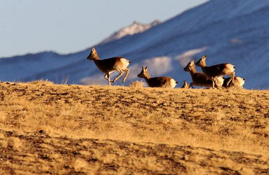 Đàn linh dương Tây Tạng trên thảo nguyên Haltern ở tỉnh Cam Túc, Trung Quốc.