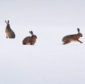 Ảnh đẹp: Thỏ rừng chơi trên cánh đồng tuyết