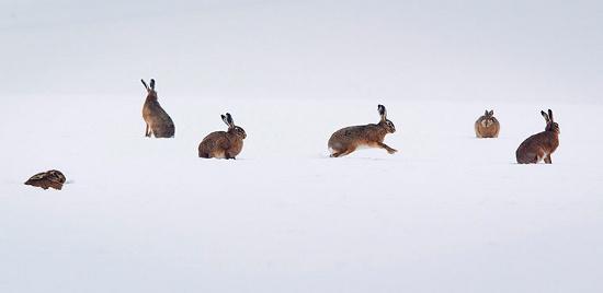 Thỏ rừng chơi đùa trên cánh đồng tuyết ở Bad Vilbel, Đức.