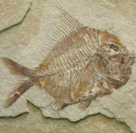 Mexico tìm thấy hóa thạch cá niên đại 110 triệu năm