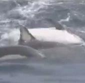 Video: 12 chú cá heo kết bè cứu đồng loại