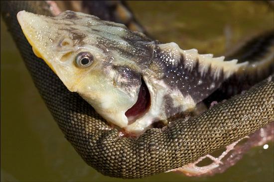 Loại keo y tế mới được các nhà khoa học chế tạo từ bong bóng loài cá tầm.