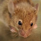Mạch não mới làm sáng tỏ chuyển động rung râu chủ động ở chuột