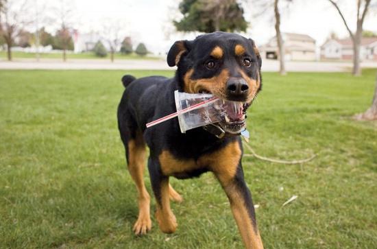 """Chó nhà được hình thành nhờ các """"bãi rác"""""""