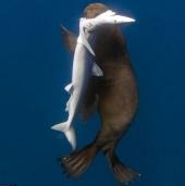 Hình ảnh kỳ lạ: Hải cẩu xẻ thịt cá mập
