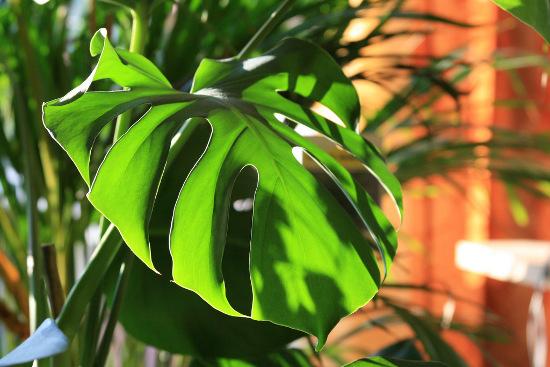 Những lỗ thủng trên lá cây giúp loài cây cảnh trong nhà  này giúp chúng tận dung các ánh nắng để quang hợp.