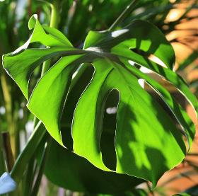 Vì sao lá cây ráy xẻ có lỗ?