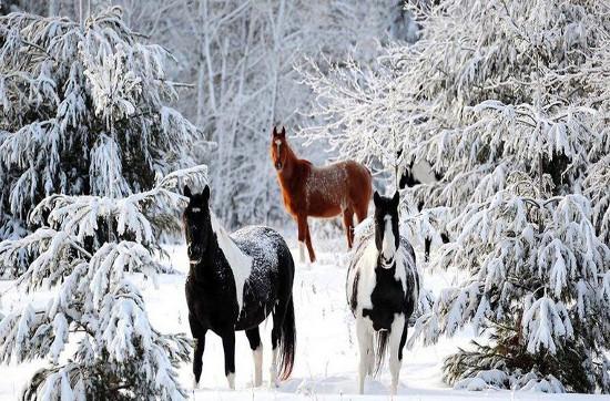 Những chú ngựa dạo chơi trong rừng tuyết.