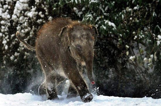 Voi con dạo chơi trên tuyết, bất chấp giá lạnh của mùa đông.
