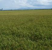 Chứng nhận nhãn hiệu cho lúa giống Hương Điền