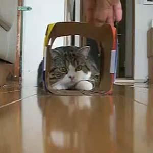 Video: Mèo cố chui vào hộp