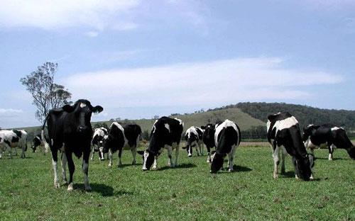 Nhiên liệu sinh học đến từ ruột bò