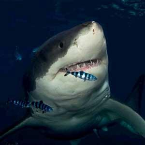 Số vụ cá mập tấn công người năm 2010 cao kỷ lục