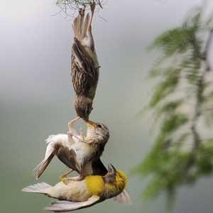 Khoảnh khắc 3 loài chim treo ngược đầu hỗn chiến