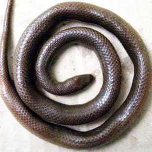 Phát hiện loài rắn mới ở Kon Tum