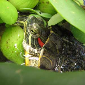 Bắt rùa tai đỏ Hồ Gươm vào tháng 3