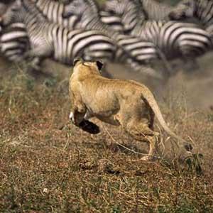Video: Mẹ trâu đánh sư tử cứu con