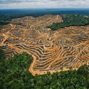 Phá rừng ở Malaysia nhanh gấp 3 lần cả châu Á