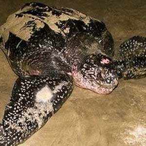 Phát hiện rùa luýt quý hiếm tại Indonesia