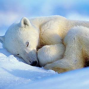 Nghiên cứu gấu ngủ đông để cứu người