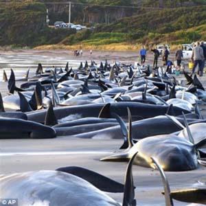 Hàng trăm cá voi chết tại New Zealand