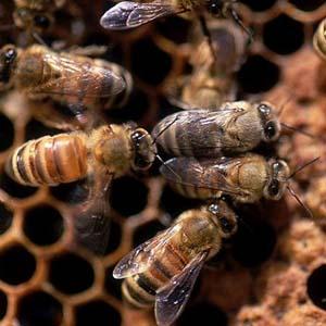 Điều tra cái chết của 20.000 con ong