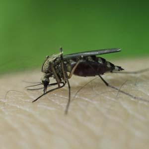 Phương pháp mới tiêu diệt hiệu quả ấu trùng muỗi sốt rét
