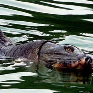 Điểm những hình ảnh thương tâm về Cụ rùa hồ Gươm