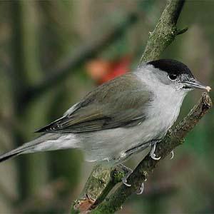 Tìm thấy gien chi phối tập tính di trú của chim