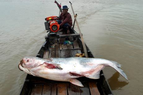 Tìm thấy 540 loài cá sống lưu vực sông Mekong
