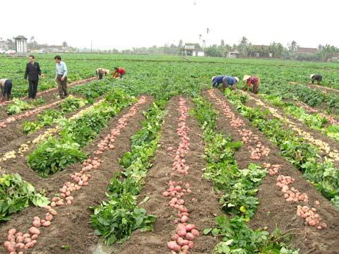 Đã tự chủ được khoai tây giống sạch bệnh