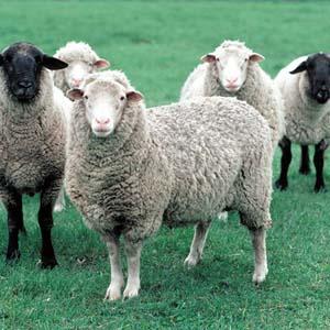 Cừu thông minh hơn khỉ