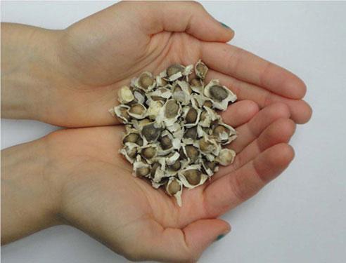 Lọc sạch nước bằng hạt cây chùm ngây