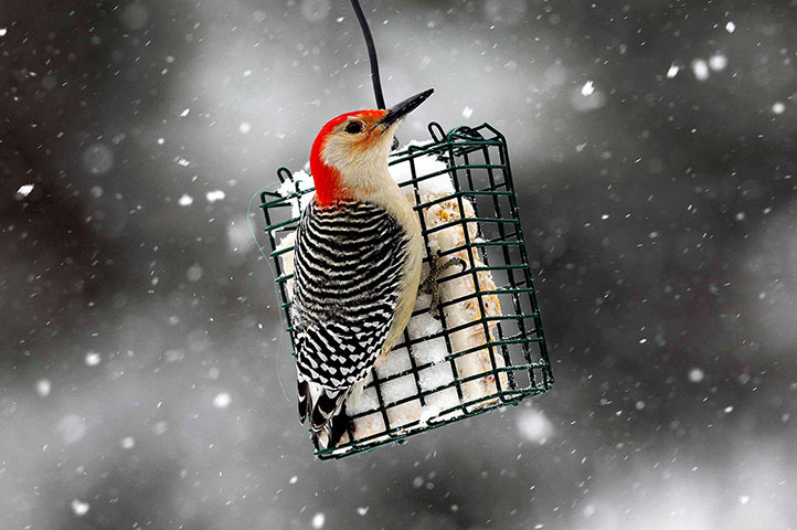 Ảnh đẹp: Chim gõ kiến đầu đỏ đậu trên lồng thức ăn