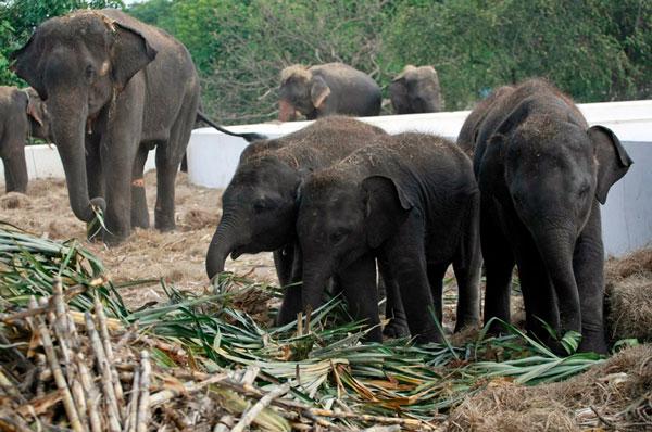Thực khách trở thành hiểm họa mới của voi Thái Lan