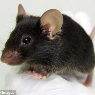 Lạ lùng chuột hót như chim