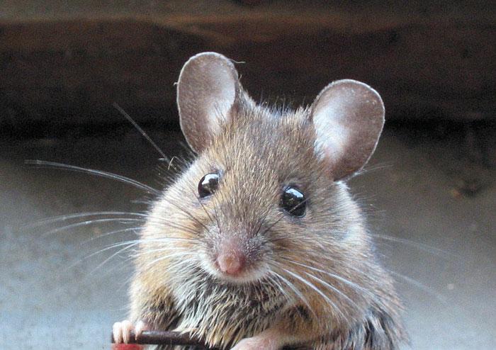 Giống chuột này không kêu rinh rích như những con chuột thông thường mà hót líu lo như chim.