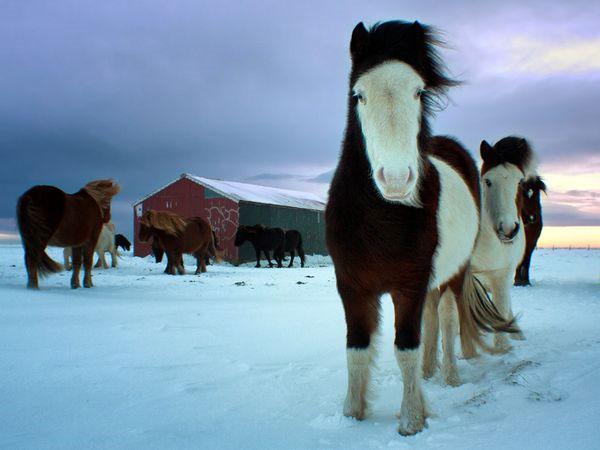 Đàn ngựa đứng trên cánh đồng tuyết ở miền nam Iceland