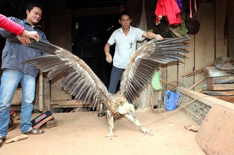 Chim lạ bên hồ sông Đà là đại bàng đầu trọc