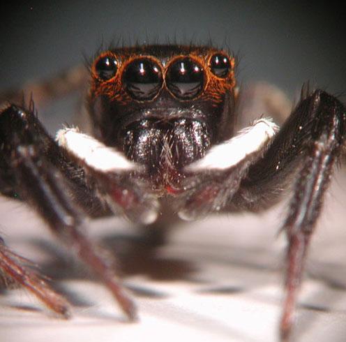 Bí ẩn bước nhảy của nhện Adanson