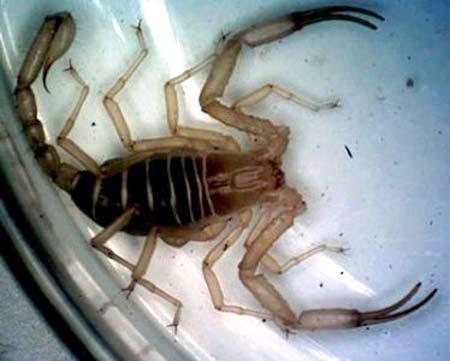 Phát hiện bọ cạp hiếm tại Việt Nam