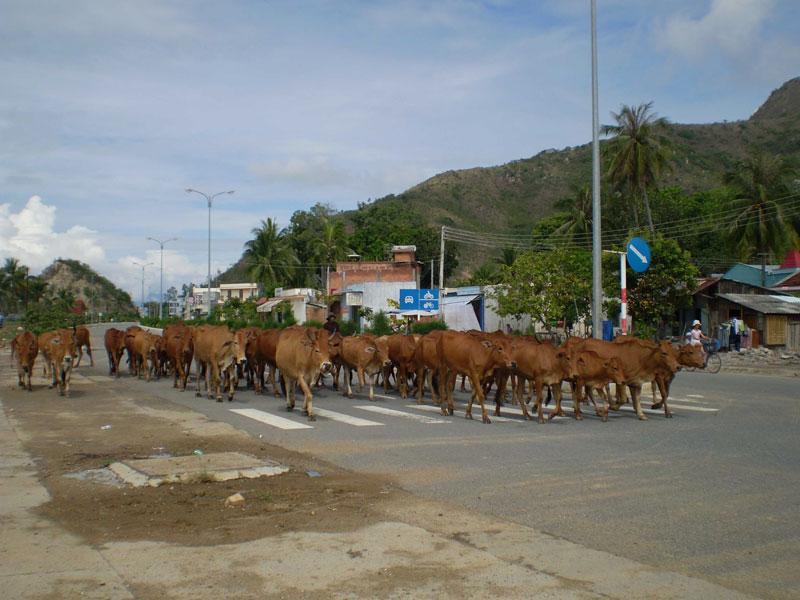 Ứng dụng khoa học công nghệ tăng chất lượng đàn bò