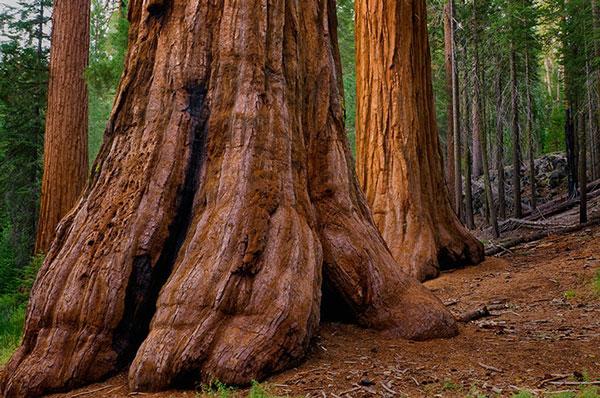 Cây củ tùng ở công viên quốc gia Yosemite, California