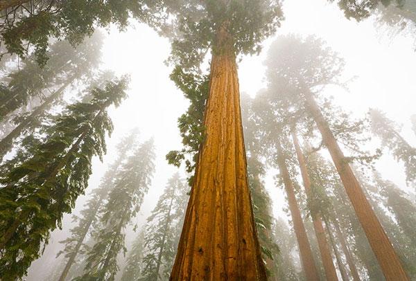 Cây củ tùng trong trong tuyết và sương mù ở công viên quốc gia, California. Cây củ tùng già nhất được biết đến là cây có 3.500 năm tuổi.