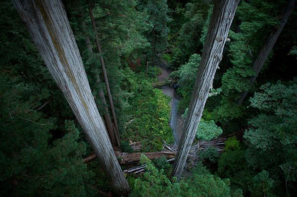 Crown Jewel và The Beast là 2 quái thú trong công viên quốc gia tùng bách ở California. Loài cây này thường xanh, sống lâu . Trước khi trở thành món hàng thương mại và bị chặt phá, vào khoảng những năm 1850, người ta ước tính loài cây này phát triển trên diện tích 8.500 km2 dọc bờ biển California (ngoại trừ miền nam California, nơi lượng mưa không đủ dồi dào) và phía tây nam của vùng ven biển Oregon, Hoa Kỳ. Người ta ước tính rằng hơn 95% rừng tùng bách già đã bị đốn hạ để lấy gỗ.